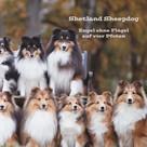 Sissi Steuerwald: Shetland Sheepdog ★★★★★